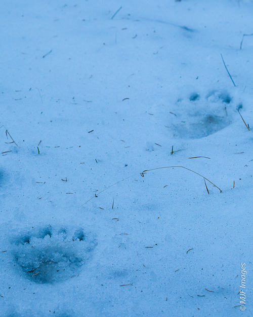 In the first snowfall of winter in the Colorado Rockies, bear tracks mark the animal trail.