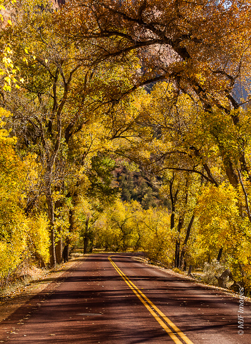 The road in Zion Canyon, Utah is lined in places with cottonwood trees.