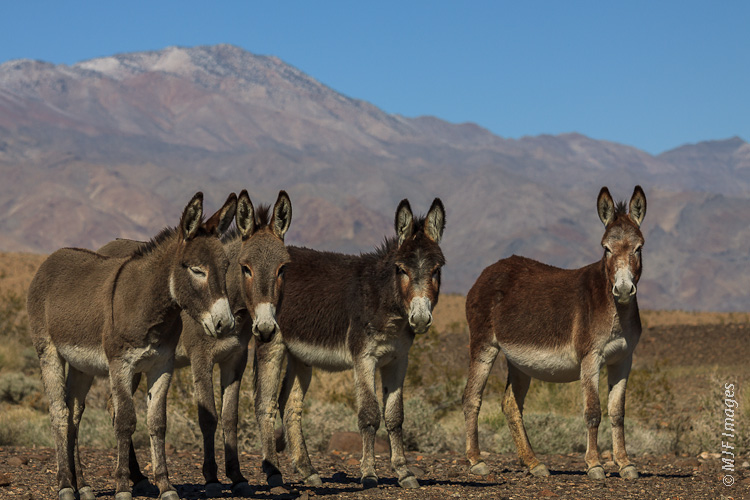 A small group of feral burros (Equus africanus asinus) roams the Panamint Valley of eastern California.