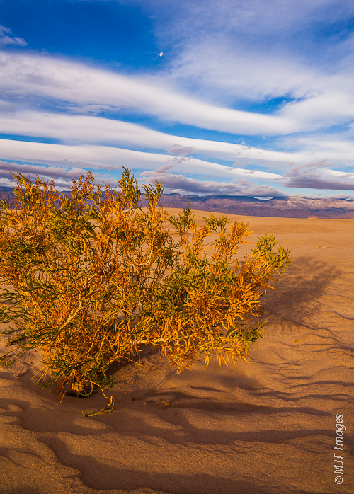 One of Death Valley's many interesting plants, this one grows in the inter-dune areas of Mesquite Flats.