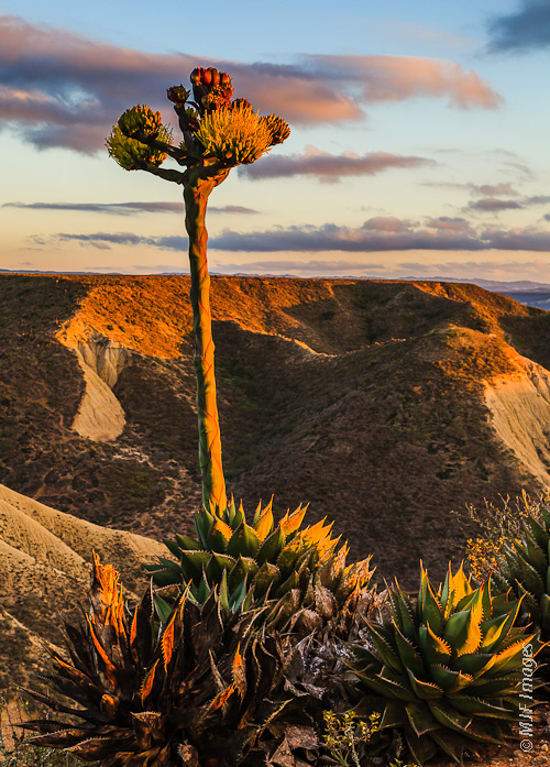 In Baja California Norte, Mexico, the desert plants often take the place of trees.