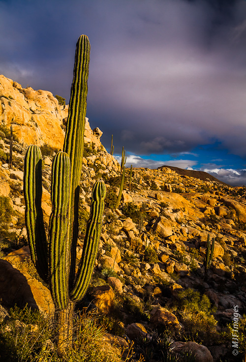A saguaro basks in the warm late-afternoon light on Mexico's Baja Peninsula.