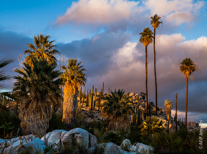 The desert in Mexico's Baja California Norte has some surprises, including the rare California Palm, which grow in small canyons fed by springs.