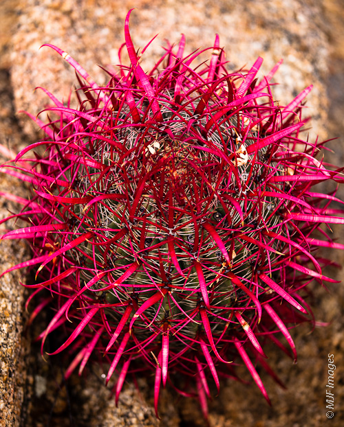 The cactus in Baja California's desert take on vibrant reddish hues after a winter rainstorm.