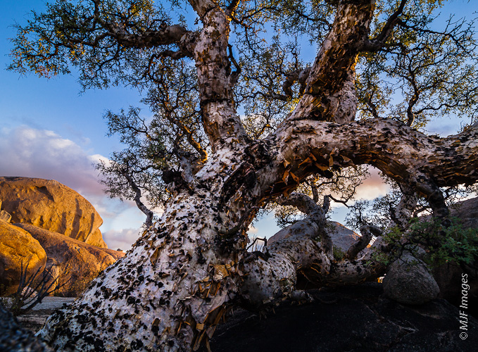 An elephant tree reclines on a granite outcrop in the northern Baja Peninsula, Mexico.