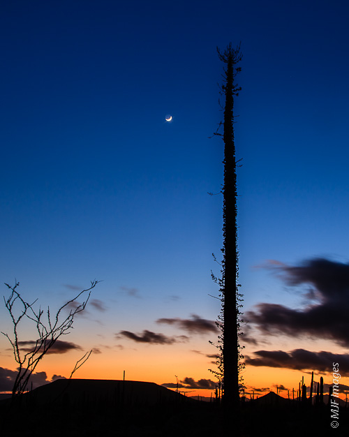 The crescent moon shines behind a towering cirios on Mexico's Baja Peninsula.