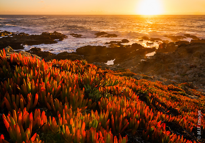 Near Point Lobos on the central California Coast, the sunset illuminates the beautiful groundcover that characterizes this part of the coastline.