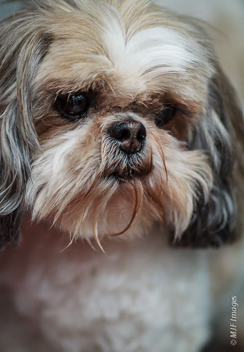 A shih tsu takes on a concerned expression, worried no doubt that more treats aren't in the cards.