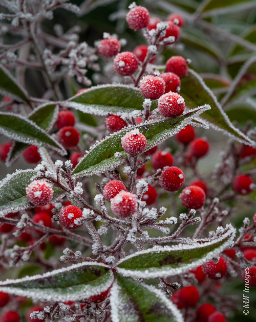 Red berries make a festive frost-covered subject.