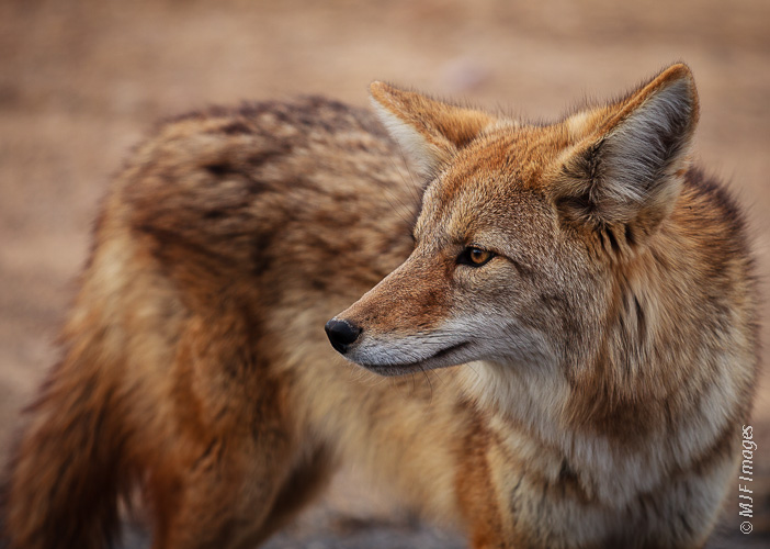A common animal for visitors to spot in Death Valley, California, is the resourceful coyote.