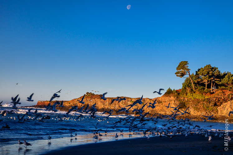 A flock of gulls takes flight in early morning light on the Mendocino Coast of California.