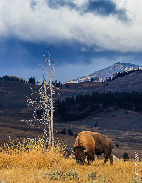 A bison grazes the late autumn grasses on a cold sunny Yellowstone morning.