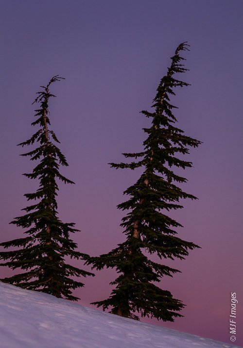 Two subalpine firs stand out against a purple dusk sky near timberline on Mount Hood, Oregon.