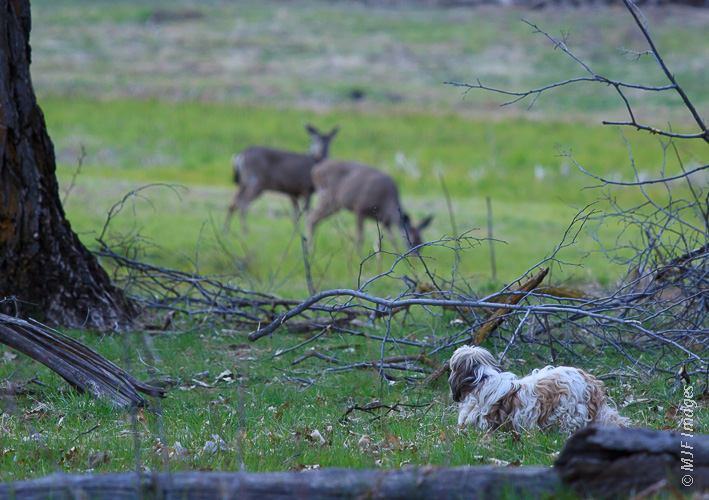 Charl the shih tsu, in the meadows along the Merced River in Yosemite N.P., stalks the completely unworried deer.