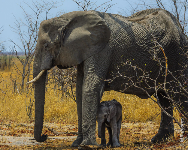 A large female African elephant shades her baby from the hot direct sun during the hottest days of the year in Botswana's Chobe National Park.