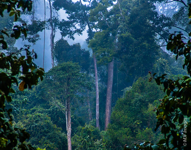 Rainforest at dawn, Danum Valley, Borneo.