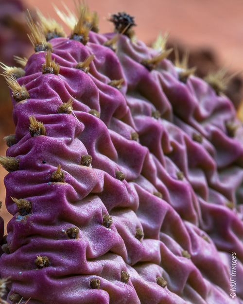 The wrinkles of a prickly pear that has gone to purple in Zion Canyon, Utah.