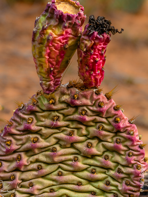 After the bloom: a prickly pear's dried flowers show their version of fall colors in Zion National Park, Utah.