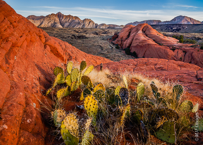 Beaver tail cactus grows abundantly in Snow Canyon State Park, Utah.