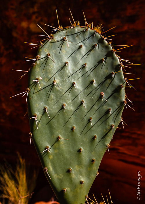 Beavertail cactus, a member of the pricklypear family, is a common sight in Snow Canyon State Park, Utah.