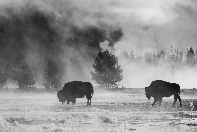 Bison begin the day's grazing after spending a cold night in Yellowstone's Lower Geyser Basin.