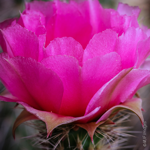 Hot pink prickly pear cactus bloom, Grand Canyon National Park, Arizona.