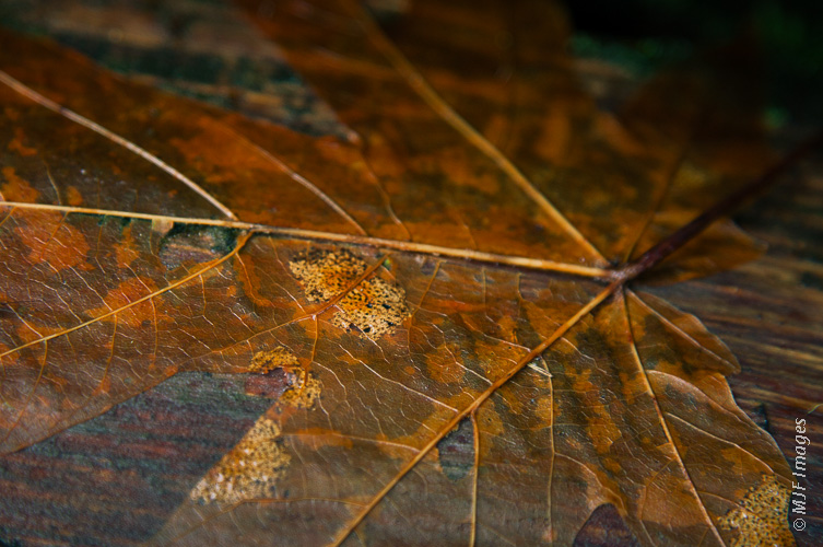A bigleaf maple leaf from last autumn that had until recently been covered and preserved by rotting wood.