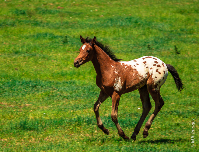 One of spring's colts gambles across a green pasture in eastern Oregon.