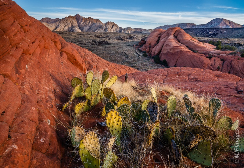 Beavertail cactus grows abundantly in Snow Canyon State Park, Utah.
