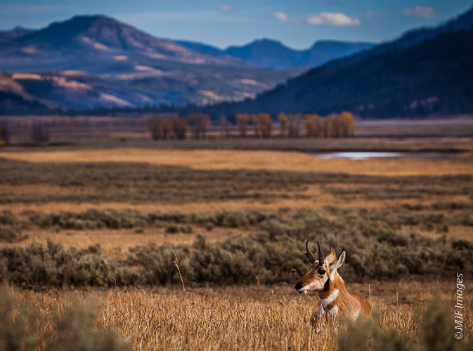A pronghorn antelope rests in Yellowstone National Park's Lamar River Valley.