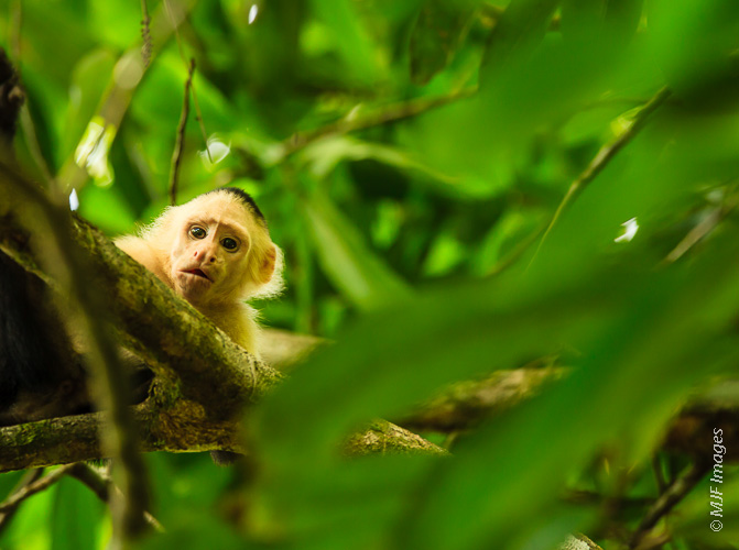 A capuchin monkey peers down from the rainforest of the Osa Peninsula in Costa Rica.