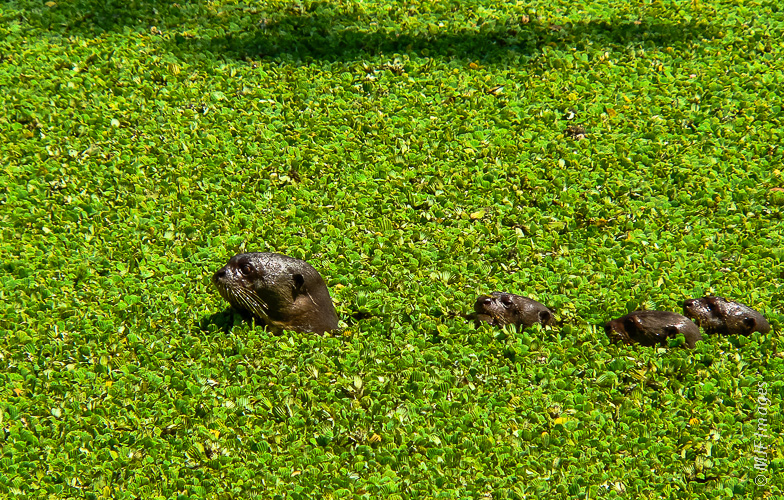 A mother giant river otter leads her babies across a plant-covered pond in western Venezuela.