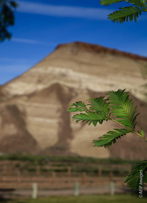I like subjects that are interesting from a natural history perspective, like this living fossil, the metasequoia.  It is now growing in eastern Oregon after being known only from fossils (in the background).