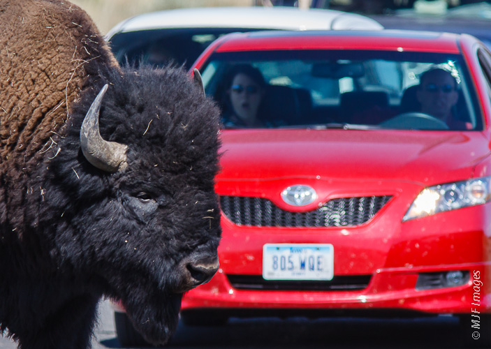 Bison roaming the road at Yellowstone, and a tourist who had no idea they were that big.