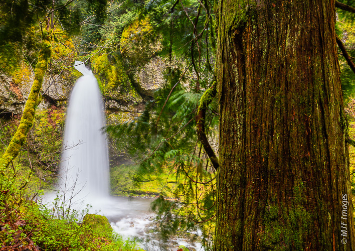 A forest of cedars surrounds the waterfall on Moffett Creek in Oregon's Columbia River Gorge.