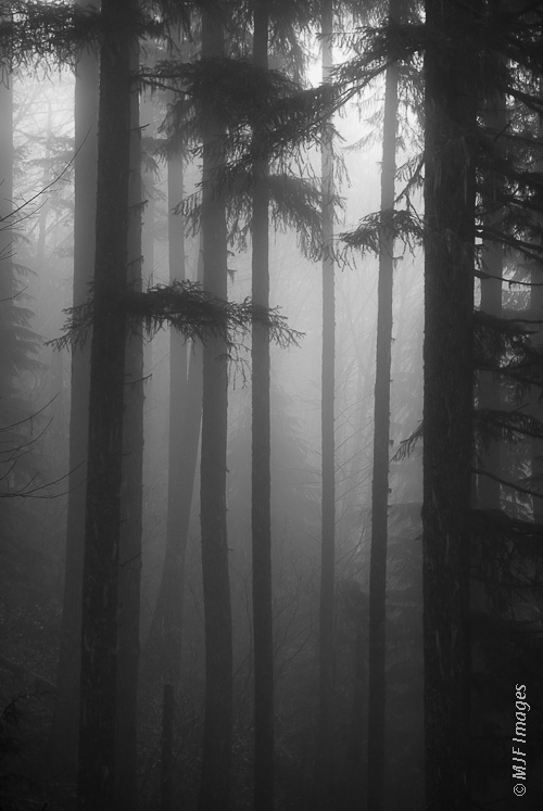 Fog and mist permeates a deep evergreen temperate rain forest in Oregon.