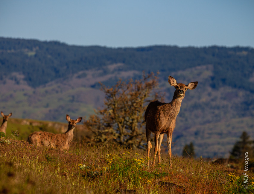 Doe and yearling mule deer are curious to see who is visiting at Rowena Plateau near the Columbia River, Oregon.