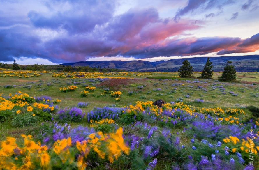 A very stiff wind blows the balsamroot and lupine at sunrise on Rowena Plateau in Oregon's Columbia River Gorge.