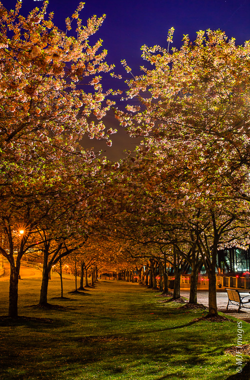 The cherry blossoms along Portland, Oregon's waterfront are a nice place for a stroll on an evening in springtime.