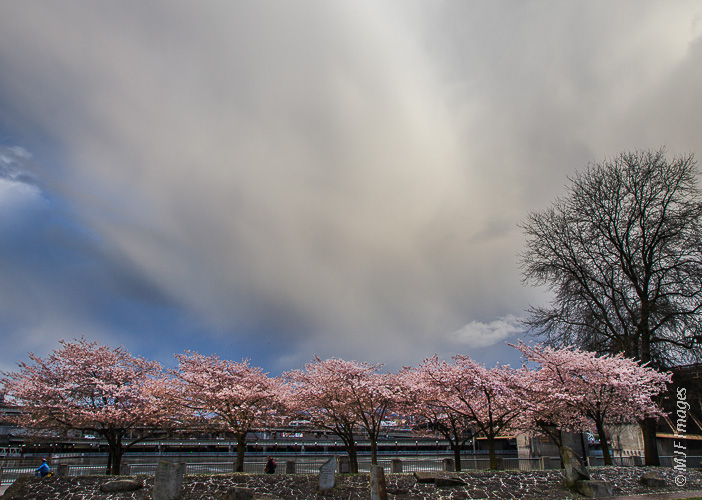 In Portland, Oregon, cherry blossoms and unsettled weather go together in early springtime.