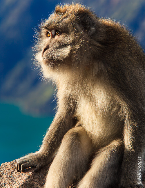 I love wildlife, especially when you can catch them when they seem to be unaware of your presence: a long-tailed macaque appears to admire the sunrise at Mt. Rinjani, Indonesia.