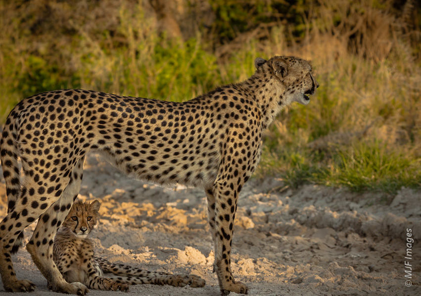 A cheetah mom shades and protects her cub while she scans the bush for dinner in Etosha National Park, Namibia.