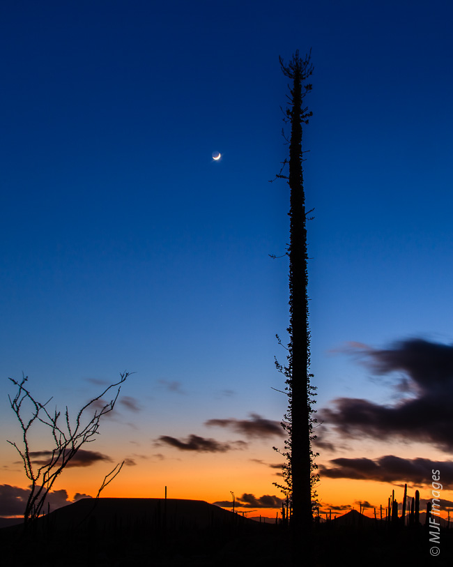 The crescent moon decorates the dusk sky behind a towering cirios (boojum) in the Baja California Desert, Mexico.
