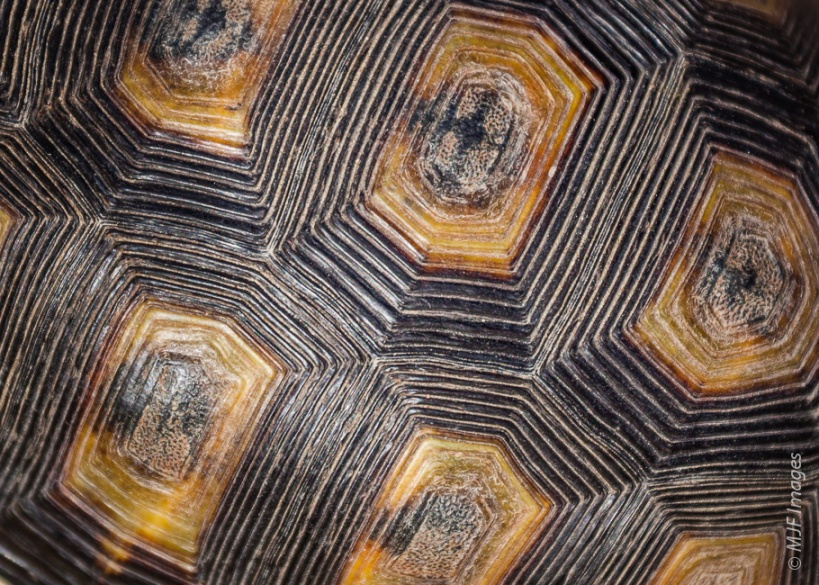 Close-up view of a geometric tortoise's shell, in the western Cape, South Africa.