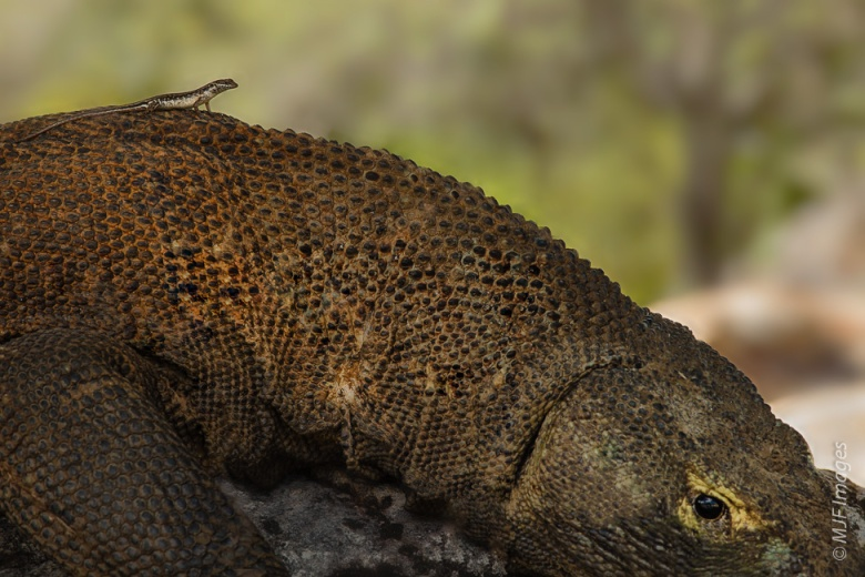 A small lizard perches on the back of the largest lizard in the world, the Komodo dragon in Indonesia .