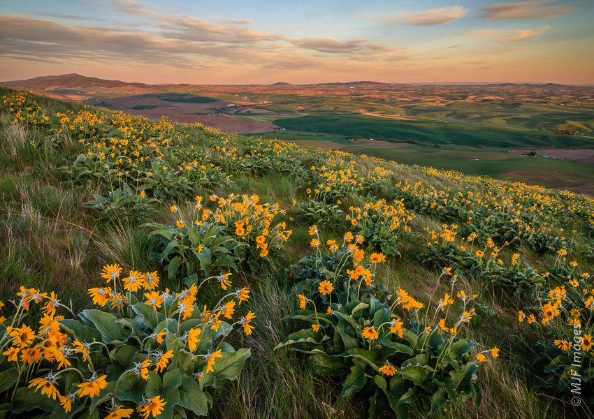 Arrowleaf balsamroot bloom on the slopes of Kamiak Butte in southeastern Washington.