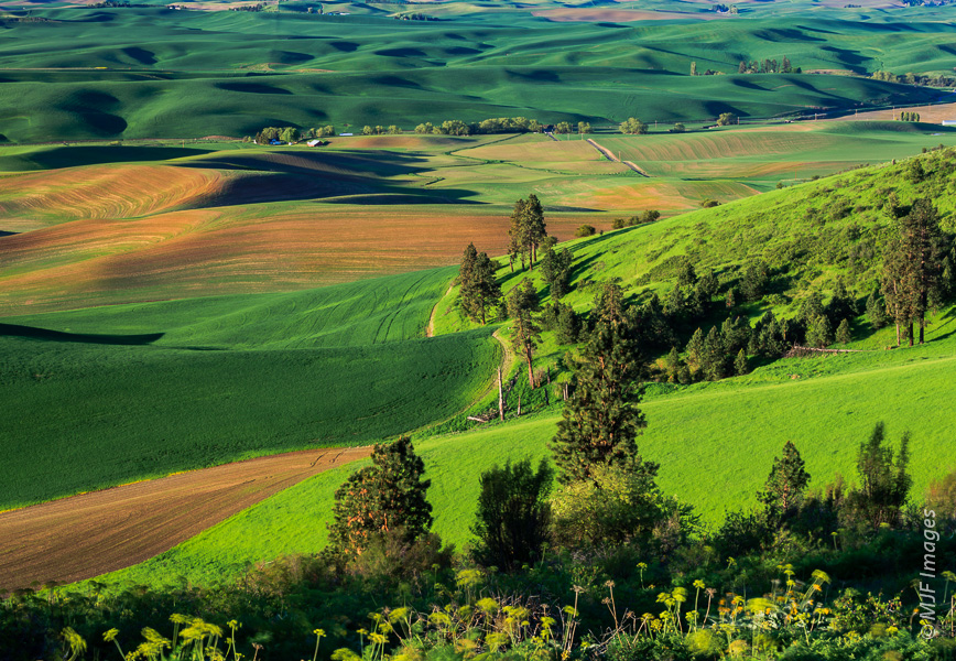 In this view from Kamiak Butte in southeast Washington, the fields of the Palouse appear to form a green carpet over the undulating landscape.