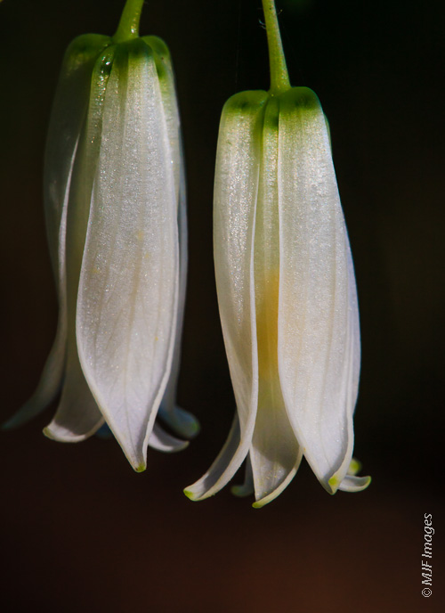Delicate forest flowers, I think they're called fairy bells, blooming along the Oregon Coast.
