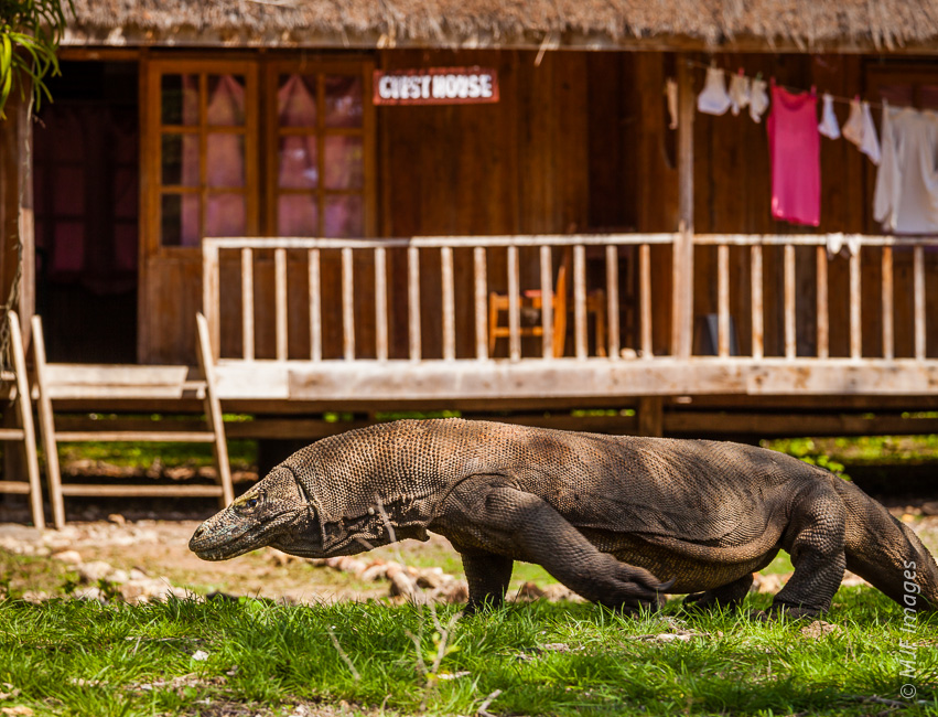 Might not want to leave your room just yet:  a large komodo dragon prowls the grounds of my guest house on Rinca Island, Indonesia.