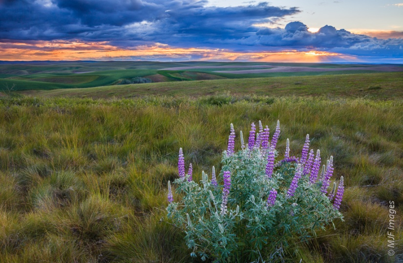 A solitary clump of blooming lupine decorates a piece of bunchgrass prairie in the Palouse, Washington.